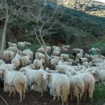 La carne di agnello sardo fa bene alla salute e non ha nulla a che fare con le carni messe all'indice dall'Oms. Dovrebbe essere presente in tutte le mense pubbliche.