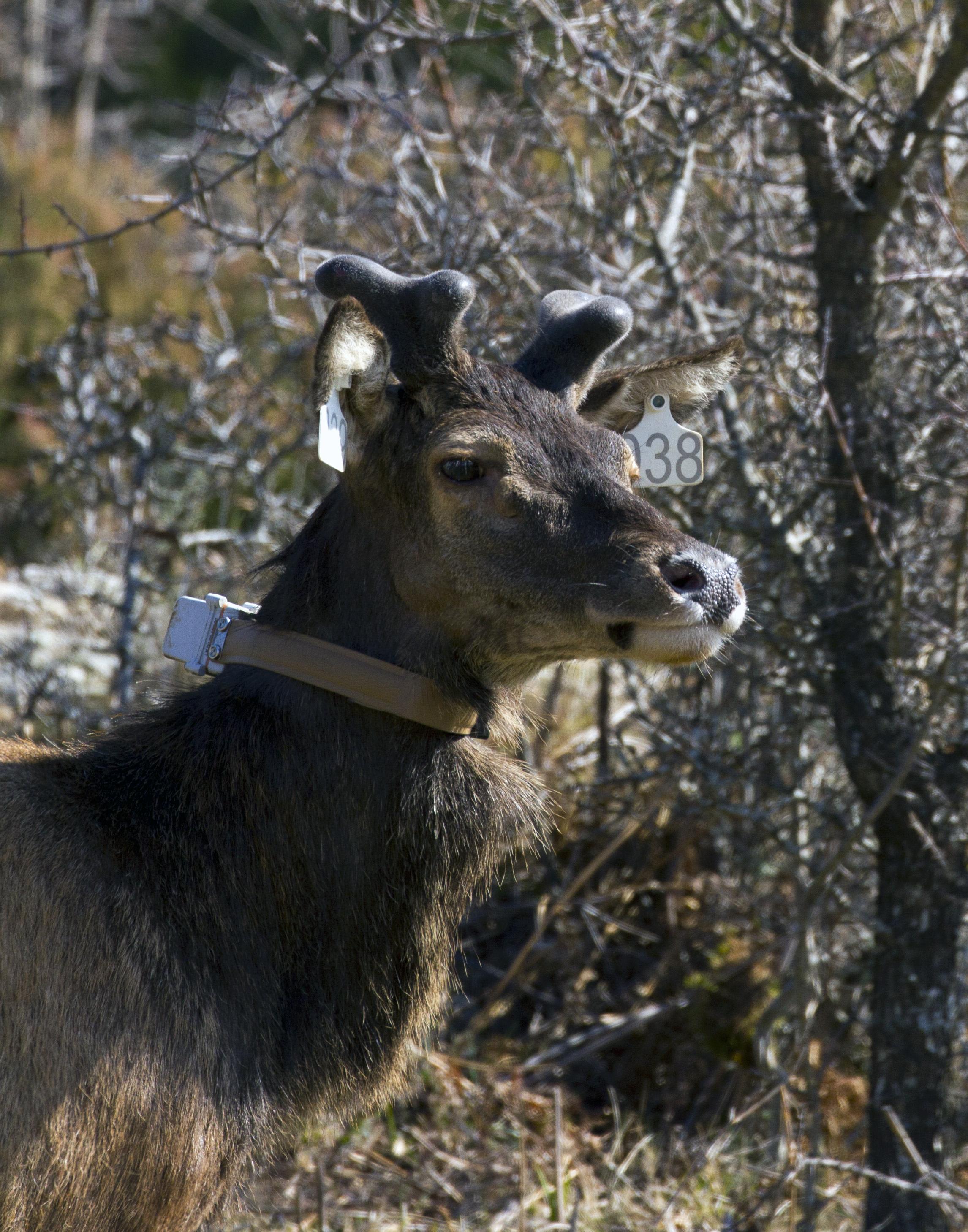 Secondo trasporto e rilascio in Corsica di cervi originari della Sardegna 15 marzo 2016