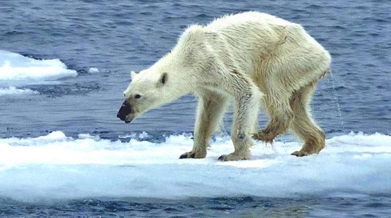 Questionario cambiamenti climatici orso polare denutrito