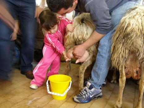 azienda agricoila su barraccu fattoria didattica bambina munge pecora