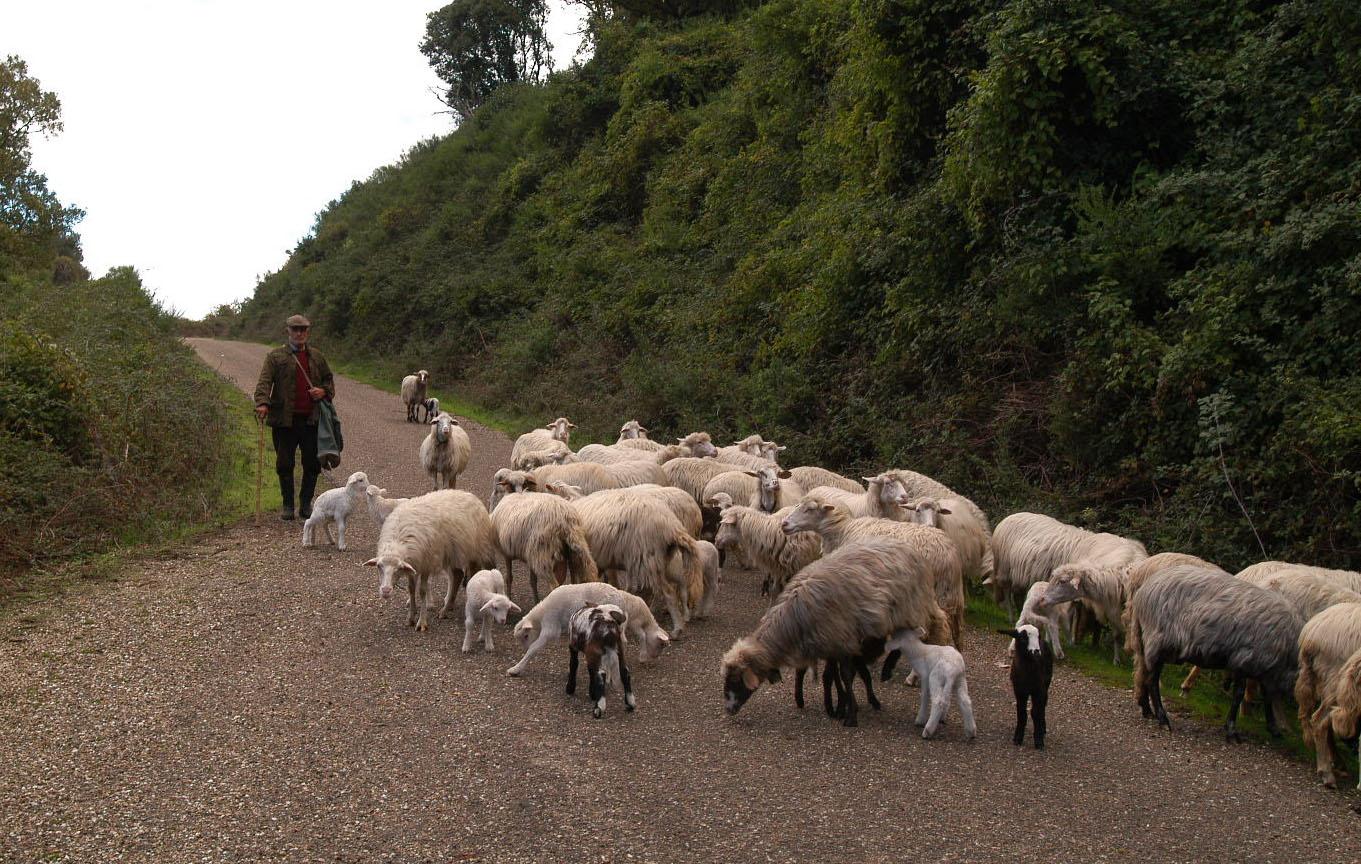 Seneghe, gregge di pecore, Sardegna Coldiretti Blu Toungue