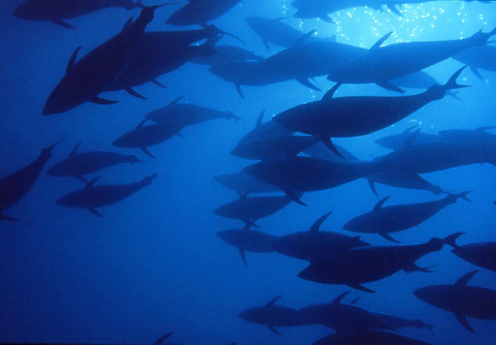 Tonni in mare aperto zona Carloforte Sardegna