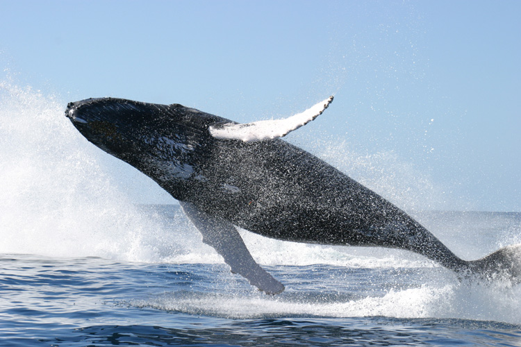 Balena scossa dalle bombe di acqua