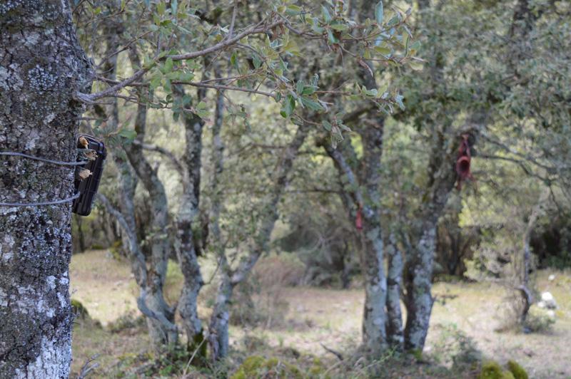 IZS Posizionamento foto trappola. Intervento dell'Izs Sardegna in relazione alle segnalazioni di aggressioni a ovini nei territori di Bultei e Nughedu San Nicolò. Le segnalazioni parlano di avvistamenti di un felino di grossa taglia. E' una pantera?
