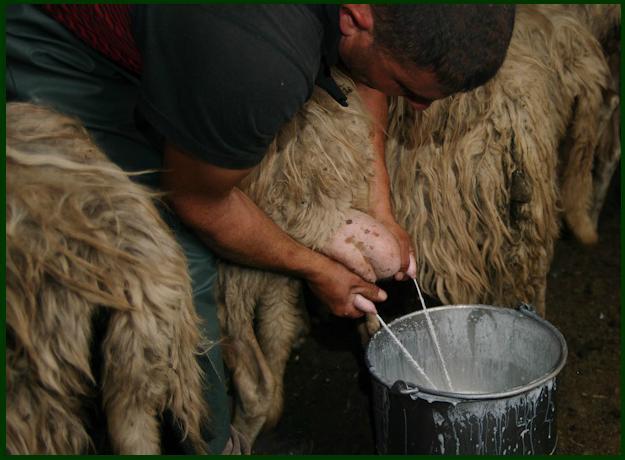 La mungitura a mano, Pastorizia in Sardegna un modo di vivere.