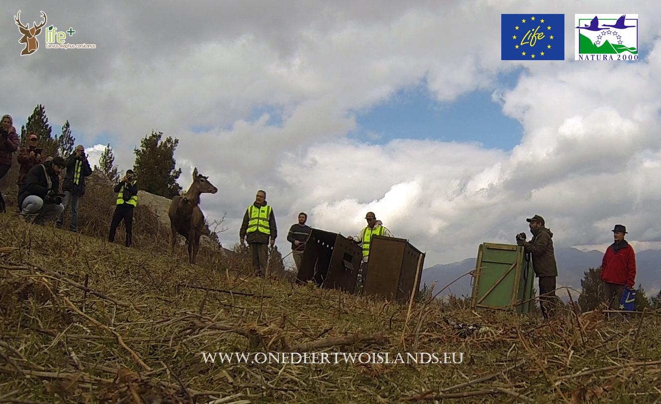 Secondo trasporto e rilascio in Corsica di cervi originari della Sardegna 15 marzo 2016, momento del rilascio
