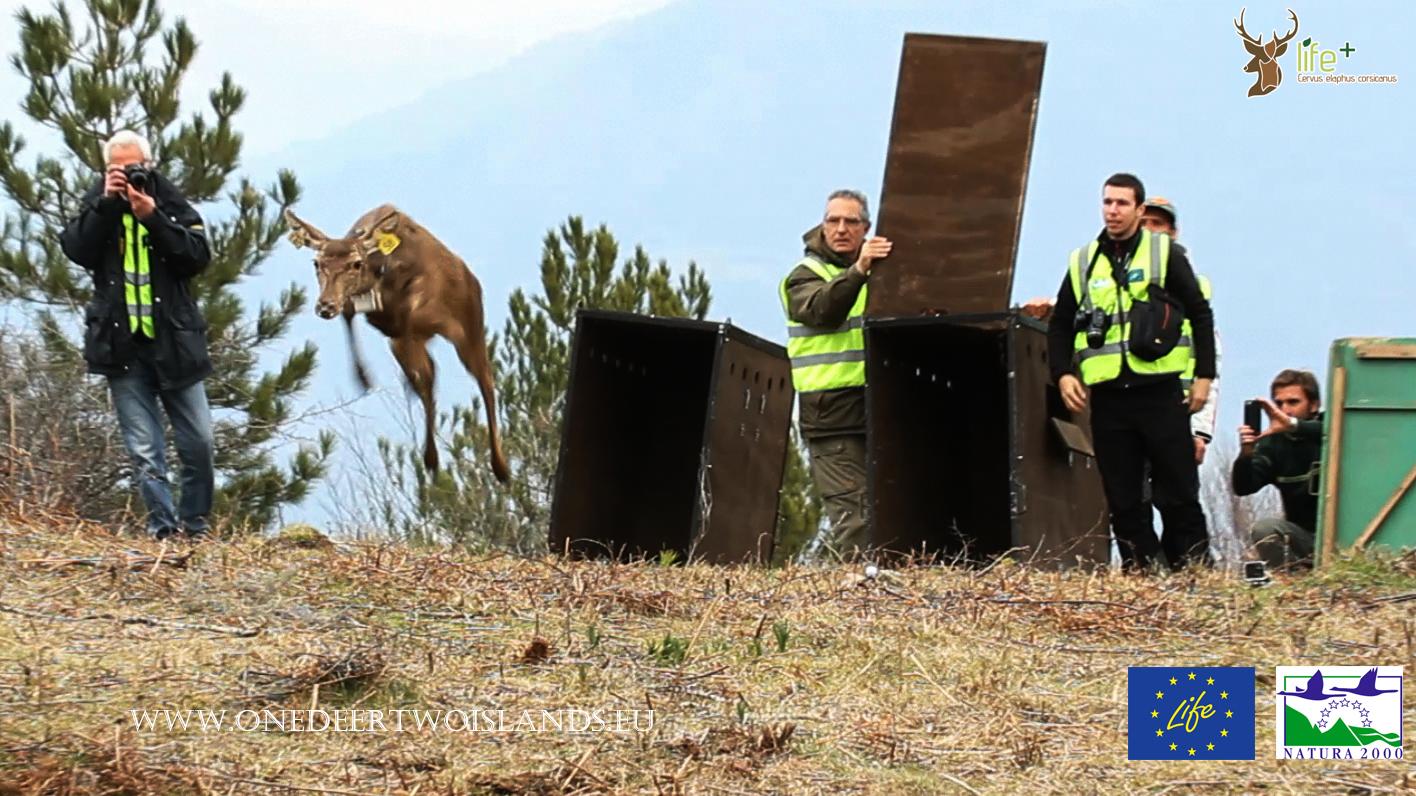 Secondo trasporto e rilascio in Corsica di cervi originari della Sardegna 15 marzo 2016, un cervo torna libero