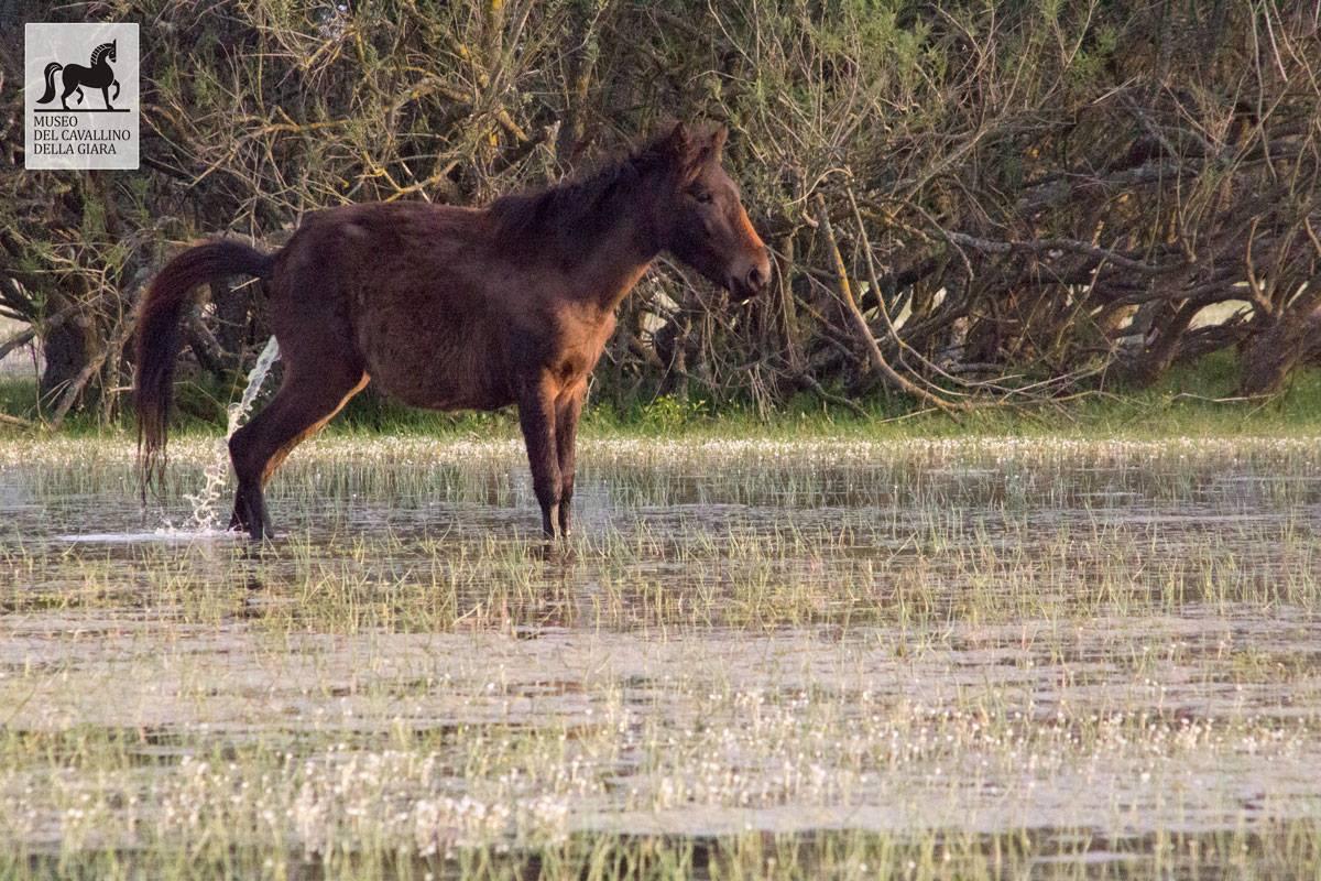 Museo del cavallino della Giara
