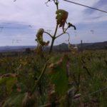 Maltempo. Coldiretti Nord Sardegna. Il vento di domenica scorsa ha mandato ko i vigneti.