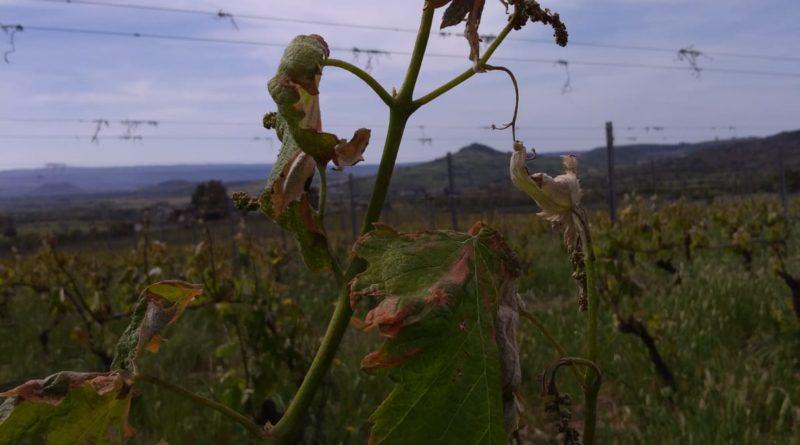 Maltempo Sardegna maggio 2019. Coldiretti Nord Sardegna. Il vento di domenica scorsa ha mandato ko i vigneti.